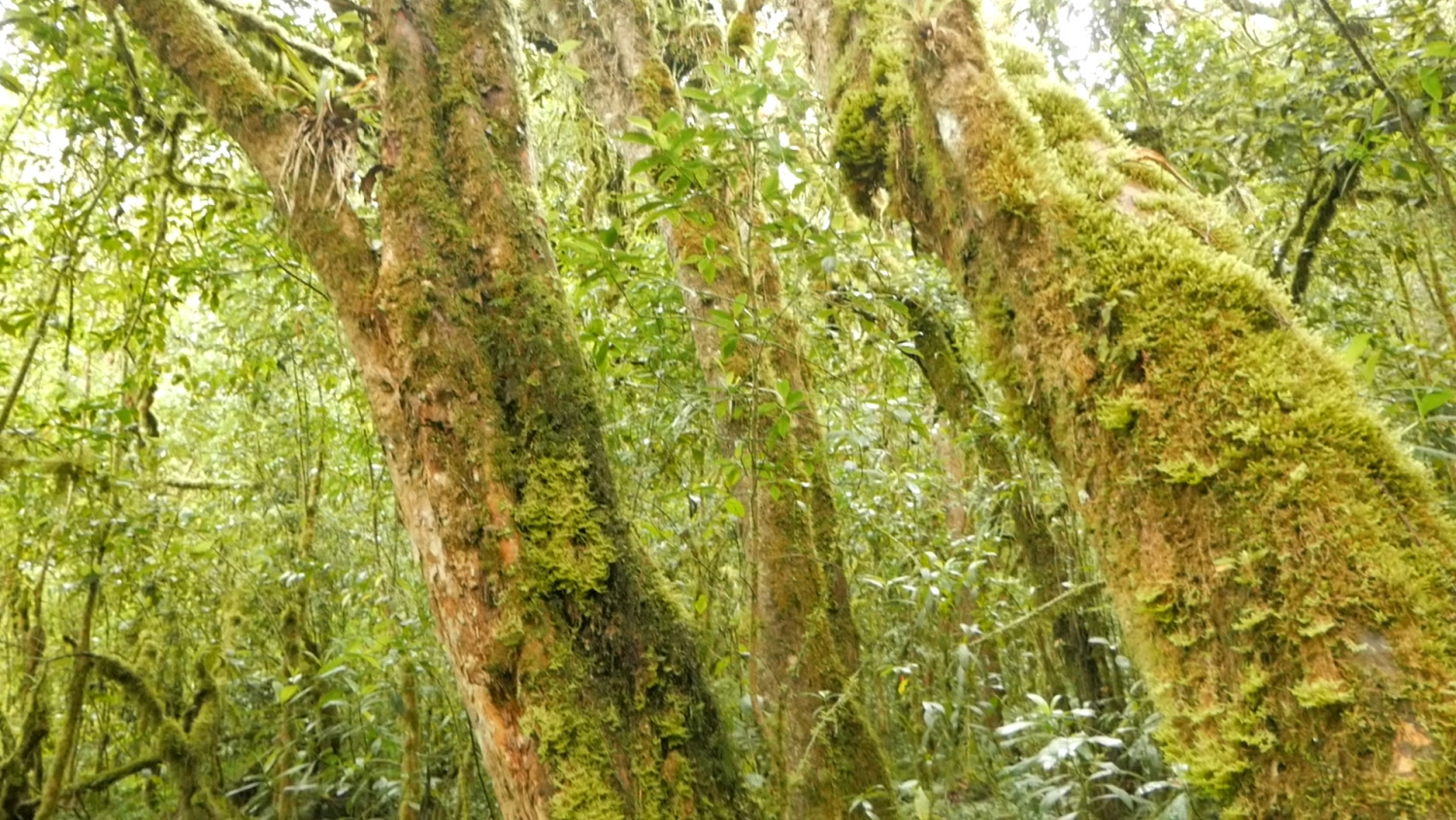Polylepis Tree in Lower Cajas National Park near Cuenca Ecuador