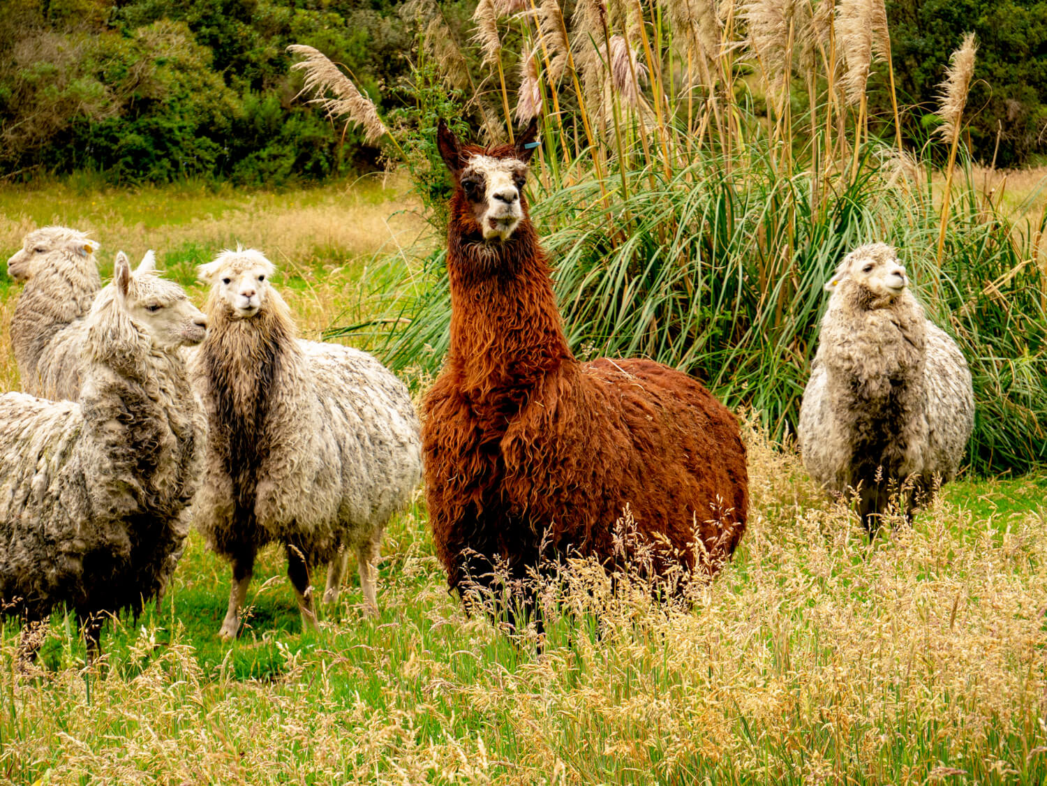 Llamas in Lower Cajas National Park near Cuenca Ecuador